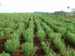 Dalam Kultivasi di Sawah atau Ladang Stevia...